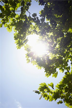 streaming - Low angle view of tree branches and blue sky with sun, Germany Stock Photo - Premium Royalty-Free, Code: 600-07600017