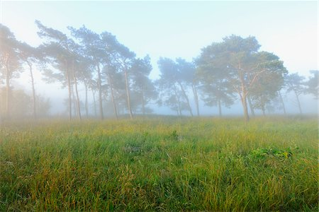 Pine Trees on Misty Morning, Fischland-Darss-Zingst, Mecklenburg-Western Pomerania, Germany Stock Photo - Premium Royalty-Free, Code: 600-07636996