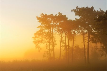 Pine Trees on Misty Morning at Sunrise, Fischland-Darss-Zingst, Mecklenburg-Western Pomerania, Germany Stock Photo - Premium Royalty-Free, Code: 600-07636992