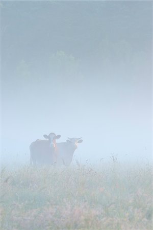 Cows in Field on Misty Morning, Fischland-Darss-Zingst, Mecklenburg-Western Pomerania, Germany Stock Photo - Premium Royalty-Free, Code: 600-07637015