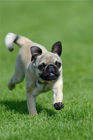 pvg - Pug Running in Meadow, Bavaria, Germany Stock Photo - Premium Royalty-Free, Code: 600-07653924