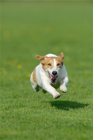 Jack Russel Terrier Running in Meadow, Bavaria, Germany Fotografie stock - Premium Royalty-Free, Codice: 600-07653929