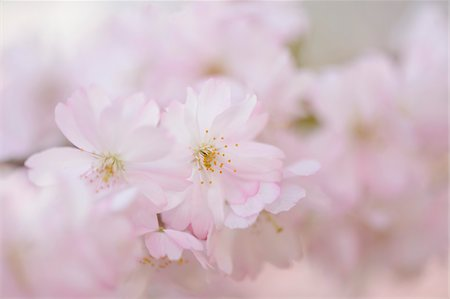 Close-up of Japanese Cherry (Prunus serrulata) Blossoms in Spring, Franconia, Bavaria, Germany Stock Photo - Premium Royalty-Free, Code: 600-07672003