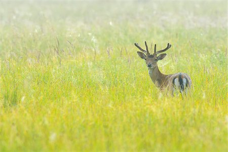 dreamy - Portrait of Fallow Deer (Cervus dama) standing in field and looking at camera in Summer, Hesse, Germany, Europe Stock Photo - Premium Royalty-Free, Code: 600-07672142