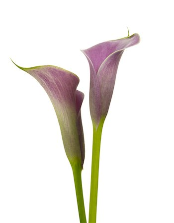 still life - Pink calla lily flowers on white background, Studio Shot Stock Photo - Premium Royalty-Free, Code: 600-07672306