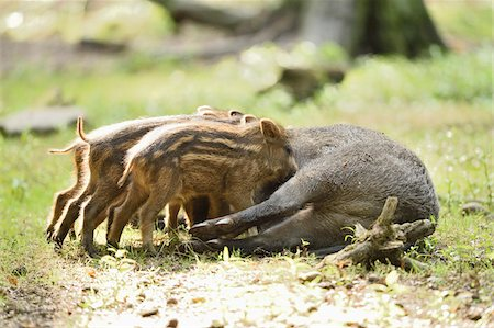 female rear end - Close-up of Wild boar or wild pig (Sus scrofa) piglets with their mother in a forest in early summer, Wildpark Alte Fasanerie Hanau, Hesse, Germany Stock Photo - Premium Royalty-Free, Code: 600-07672347
