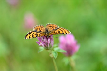 Close-up of Knapweed Fritillary (Melitaea phoebe) in Early Summer, Bavaria, Germany Stock Photo - Premium Royalty-Free, Code: 600-07673635