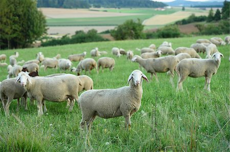 perception - Flock of sheeps (Ovis aries) on a meadow in summer, Upper Palatinate, Bavaria, Germany Stock Photo - Premium Royalty-Free, Code: 600-07691598
