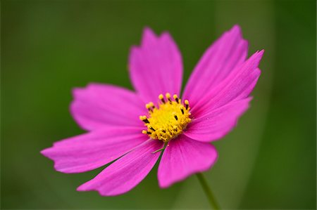 Close-up of a Garden cosmos or Mexican aster (Cosmos bipinnatus) in summer, Upper Palatinate, Bavaria, Germany Stock Photo - Premium Royalty-Free, Code: 600-07691592