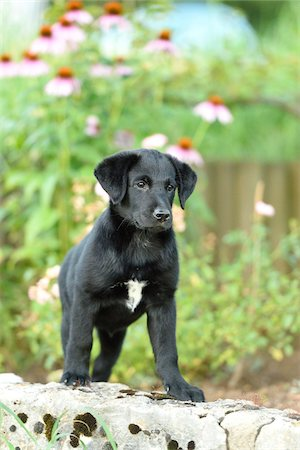 perception - Mixed Black Labrador Retriever in a garden in summer, Upper Palatinate, Bavaria, Germany Stock Photo - Premium Royalty-Free, Code: 600-07691604