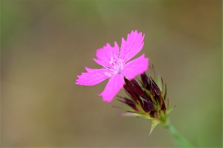 Close-up of a Carthusian Pink (Dianthus carthusianorum) in summer, Upper Palatinate, Bavaria, Germany Stock Photo - Premium Royalty-Free, Code: 600-07691605