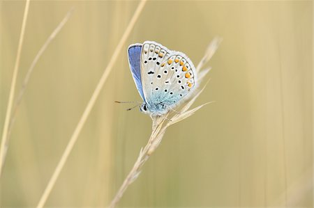 Close-up of a Common Blue butterfly (Polyommatus icarus) sitting on weed in summer, Upper Palatinate, Bavaria, Germany Stock Photo - Premium Royalty-Free, Code: 600-07691607