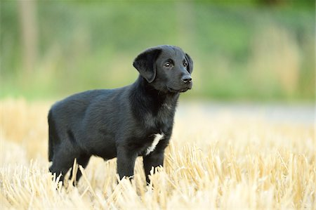perception - Mixed Black Labrador Retriever standing in a field in summer, Upper Palatinate, Bavaria, Germany Stock Photo - Premium Royalty-Free, Code: 600-07691601
