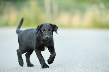 perception - Mixed Black Labrador Retriever on a street in summer, Upper Palatinate, Bavaria, Germany Stock Photo - Premium Royalty-Free, Code: 600-07691603