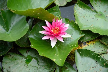 Close-up of a water-lily (Nymphaea) blossom in a little pond in summer, Bavaria, Germany Stock Photo - Premium Royalty-Free, Code: 600-07691612