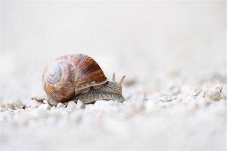 Close-up of Burgundy snail (Helix pomatia) on Gravel Road, Upper Palatinate, Bavaria, Germany Stock Photo - Premium Royalty-Free, Code: 600-07707676