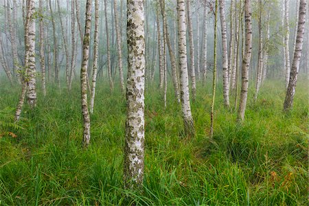 Birch Forest in Early Morning Mist, Hesse, Germany Stock Photo - Premium Royalty-Free, Code: 600-07708367