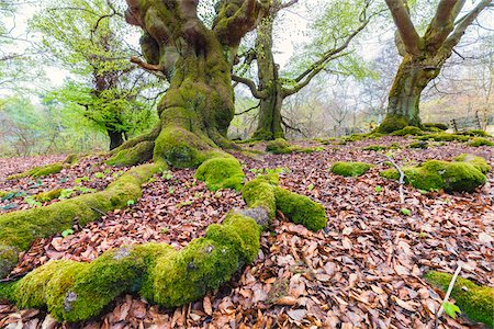 european (places and things) - Moss Covered Roots of European Beech Trees (Fagus sylvatica) in Forest, Spring, Kellerwald-Edersee National Park, Hesse, Germany Stock Photo - Premium Royalty-Free, Code: 600-07738590