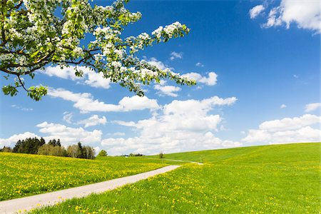 spring - Country Road by Cherry Tree and Dandelion Meadow (Taraxacum officinale) in Spring, Bavaria, Germany Stock Photo - Premium Royalty-Free, Code: 600-07738603