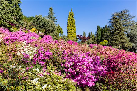 scenic and spring (season) - Blooming Rhododendron, Azaleas and Conifers in Spring, Parco San Grato, Lugano, Ticino, Switzerland Stock Photo - Premium Royalty-Free, Code: 600-07738612