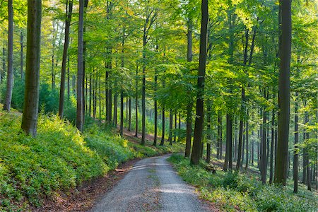 Gravel Road through European Beech (Fagus sylvatica) Forest, Nature Park, Spessart, Bavaria, Germany Stock Photo - Premium Royalty-Free, Code: 600-07745086