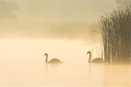 Mute Swans (Cygnus olor) on Misty Lake, Saxony, Germany Stock Photo - Premium Royalty-Free, Code: 600-07745094