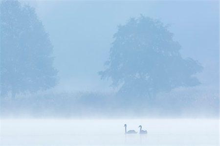 fog (weather) - Mute Swans (Cygnus olor) on Misty Lake, Saxony, Germany Stock Photo - Premium Royalty-Free, Code: 600-07745095