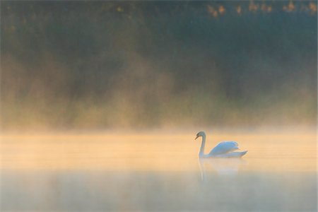 scenic - Mute Swan (Cygnus olor) on Misty Lake in Morning Light, Saxony, Germany Stock Photo - Premium Royalty-Free, Code: 600-07745090