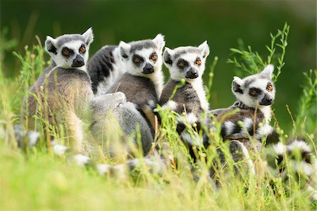 endangered animal - Close-up Portrait of Four Ring-tailed Lemurs (Lemur catta) sitting in Meadow in summer, Zoo Augsburg, Swabia, Bavaria, Germany Stock Photo - Premium Royalty-Free, Code: 600-07760216