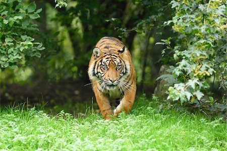 perception - Close-up of a Sumatran tiger (Panthera tigris sumatrae) walking in meadow in summer, Zoo Augsburg, Swabia, Bavaria, Germany Stock Photo - Premium Royalty-Free, Code: 600-07760218