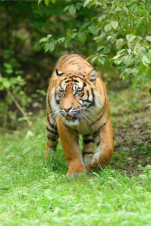 perception - Close-up of a Sumatran tiger (Panthera tigris sumatrae) walking in a meadow in summer, Zoo Augsburg, Swabia, Bavaria, Germany Stock Photo - Premium Royalty-Free, Code: 600-07760221