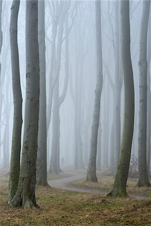 forest - Trees in forest with fog, Ghost Forest (Gespensterwald), Nienhagen, Westren Pomerania, Mecklenburg-Vorpommern, Germany Stock Photo - Premium Royalty-Free, Code: 600-07784599