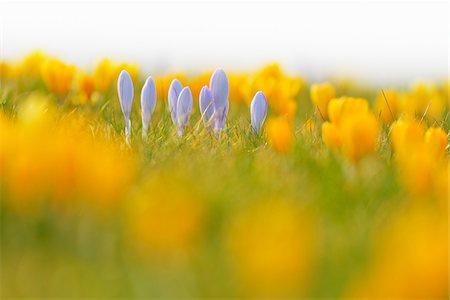 Close-up of crocus in early Spring, Schwerin, Western Pomerania, Mecklenburg-Vorpommern, Germany Stock Photo - Premium Royalty-Free, Code: 600-07784592