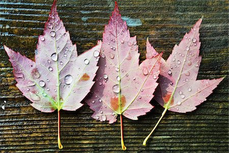 View of the back of three maple leaves with water droplets on wooden background, Canada Stock Photo - Premium Royalty-Free, Code: 600-07783639