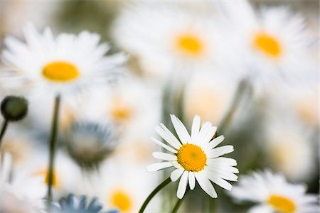 Close-up of Oxeye daisy flowers (Leucanthemum vulgare), Germany Stock Photo - Premium Royalty-Free, Code: 600-07783858