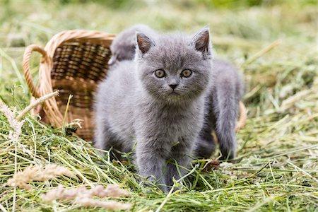 Portrait of British Shorthair cats, (British Blue) kittens in hay, Germany Stock Photo - Premium Royalty-Free, Code: 600-07783861