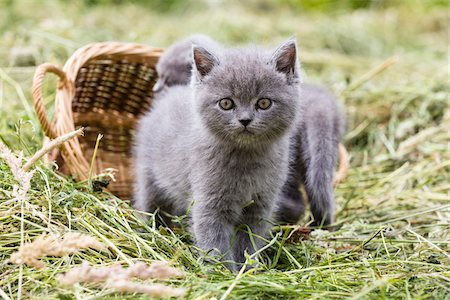 furry - Portrait of British Shorthair cats, (British Blue) kittens in hay, Germany Stock Photo - Premium Royalty-Free, Code: 600-07783861