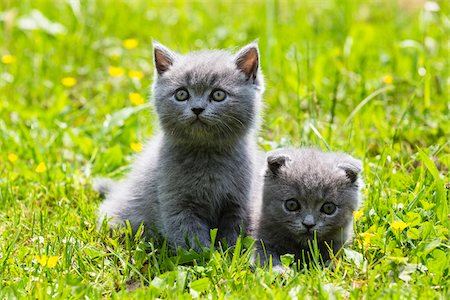 Close-up portrait of British Shorthair cats, (British Blue), kittens on green lawn, Germany Stock Photo - Premium Royalty-Free, Code: 600-07783862