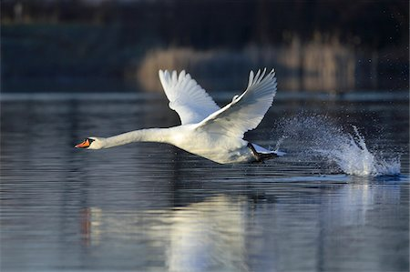 Mute Swan (Cygnus olor) Flying over a Lake, Hesse, Germany Stock Photo - Premium Royalty-Free, Code: 600-07802512