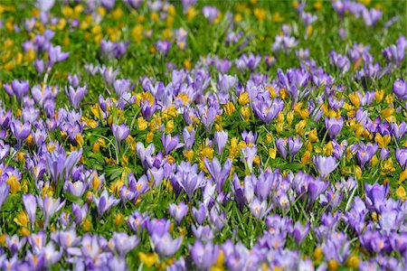 spring flowers - Close-up of crocus and winter aconite (Eranthis) in spring, Husum, Schlosspark, Schleswig-Holstein, Germany Stock Photo - Premium Royalty-Free, Code: 600-07802684