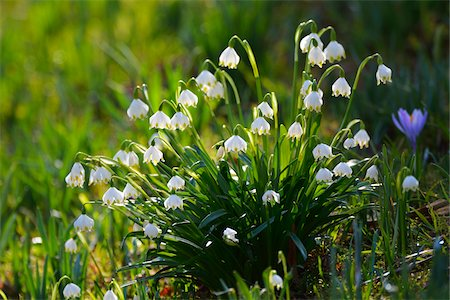 Spring snowflake (leucojum vernum), in spring, Husum, Schlosspark, Schleswig-Holstein, Germany Stock Photo - Premium Royalty-Free, Code: 600-07802685