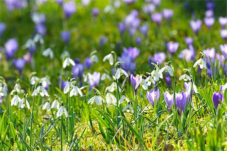 Close-up of crocus and snowdrop in spring, Husum, Schlosspark, Schleswig-Holstein, Germany Stock Photo - Premium Royalty-Free, Code: 600-07802682