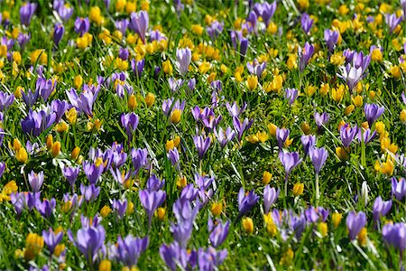 Close-up of crocus and winter aconite (Eranthis) in spring, Husum, Schlosspark, Schleswig-Holstein, Germany Stock Photo - Premium Royalty-Free, Code: 600-07802683