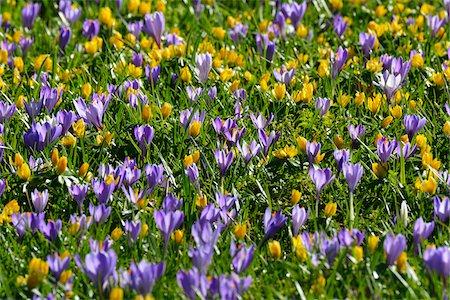 Close-up of crocus and winter aconite (Eranthis) in spring, Husum, Schlosspark, Schleswig-Holstein, Germany Stock Photo - Premium Royalty-Free, Code: 600-07802683