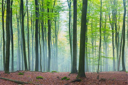 European Beech Forest (Fagus sylvatica) in Morning Mist, Spessart, Bavaria, Germany Stock Photo - Premium Royalty-Free, Code: 600-07802840