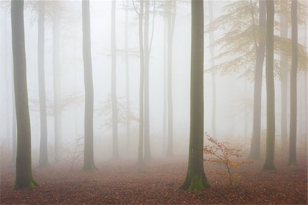 places - European Beech (Fagus sylvatica) Forest in Mist, Spessart, Bavaria, Germany Stock Photo - Premium Royalty-Free, Code: 600-07802874