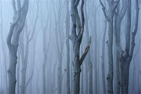 fog (weather) - Coastal Beech Forest with Fog, Gespensterwald, Nienhagen, Bad Doberan, Western Pomerania, Germany Stock Photo - Premium Royalty-Free, Code: 600-07802911