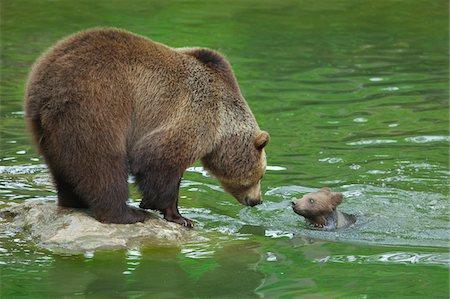Brown Bear (Ursus arctos) with Cub, Bavarian Forest National Park, Bavaria, Germany Stock Photo - Premium Royalty-Free, Code: 600-07802995