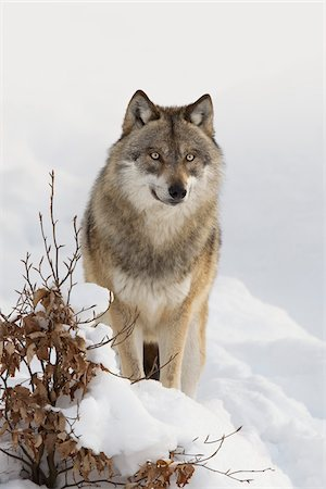 Close-up portrait of Wolf (Canis lupus) in winter, Bavarian Forest National Park, Bavaria, Germany Stock Photo - Premium Royalty-Free, Code: 600-07803045