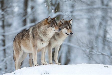 predator - Two wolves (Canis lupus) in winter Stock Photo - Premium Royalty-Free, Code: 600-07803052